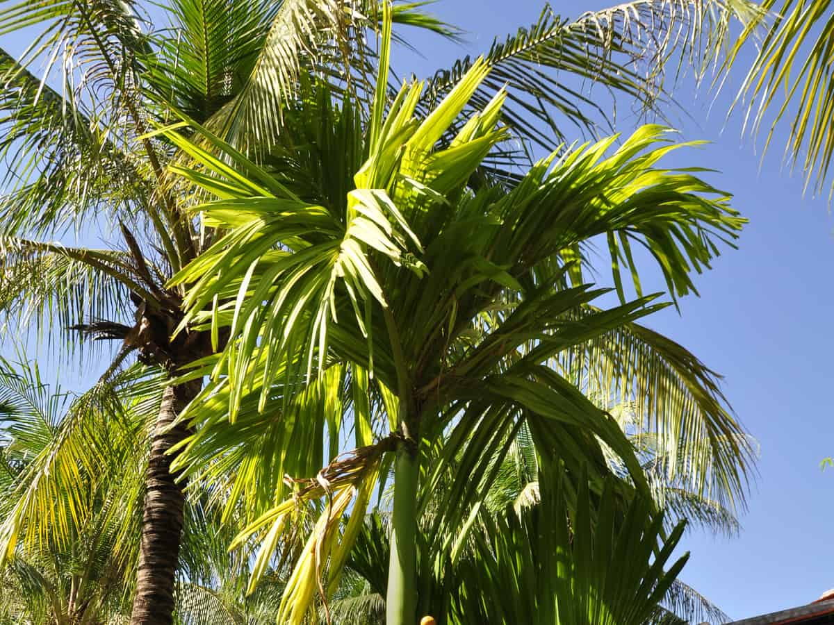 the jelly palm or pindo palm likes colder temperatures