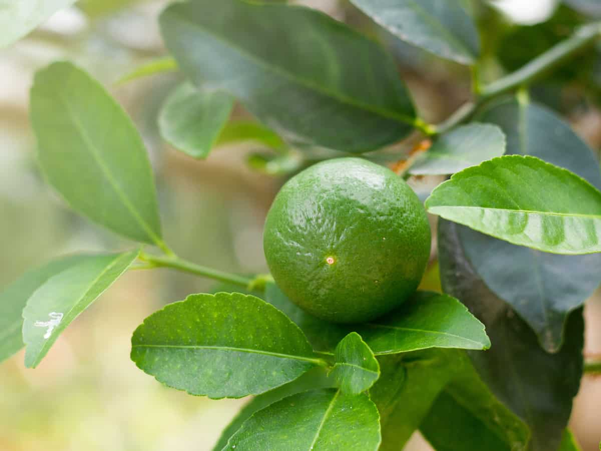 the key lime is a small bushy tree with big flavor