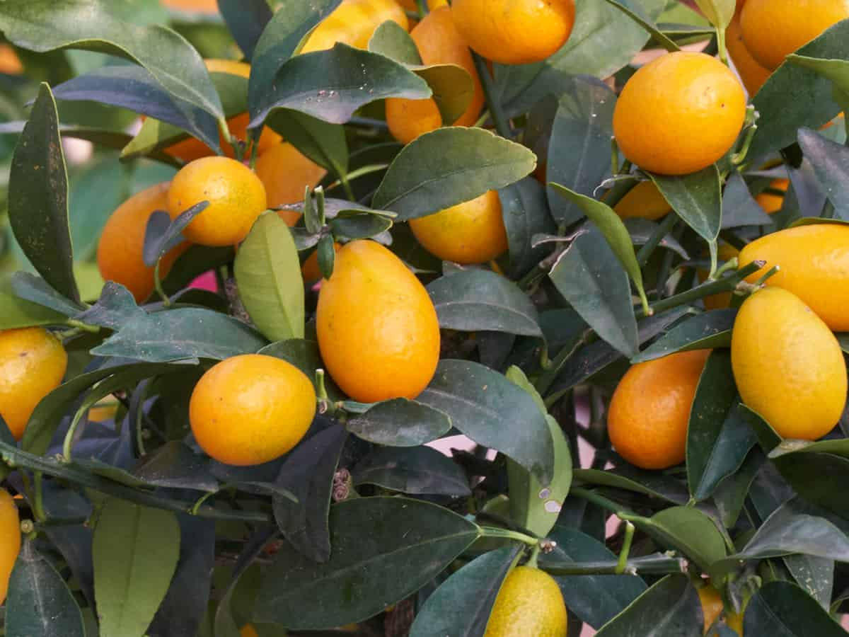 the kumquat is a small citrus tree for the garden