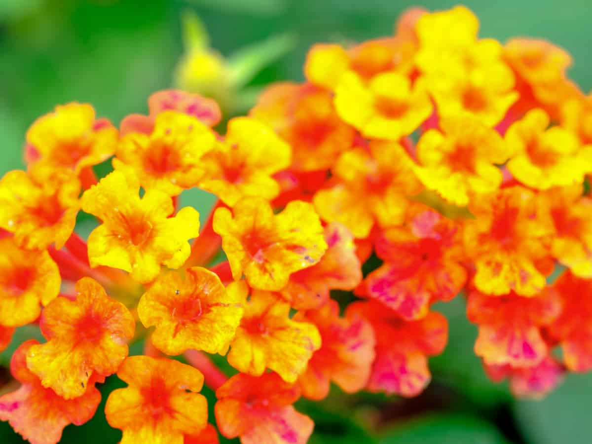 lantana is both heat and drought tolerant