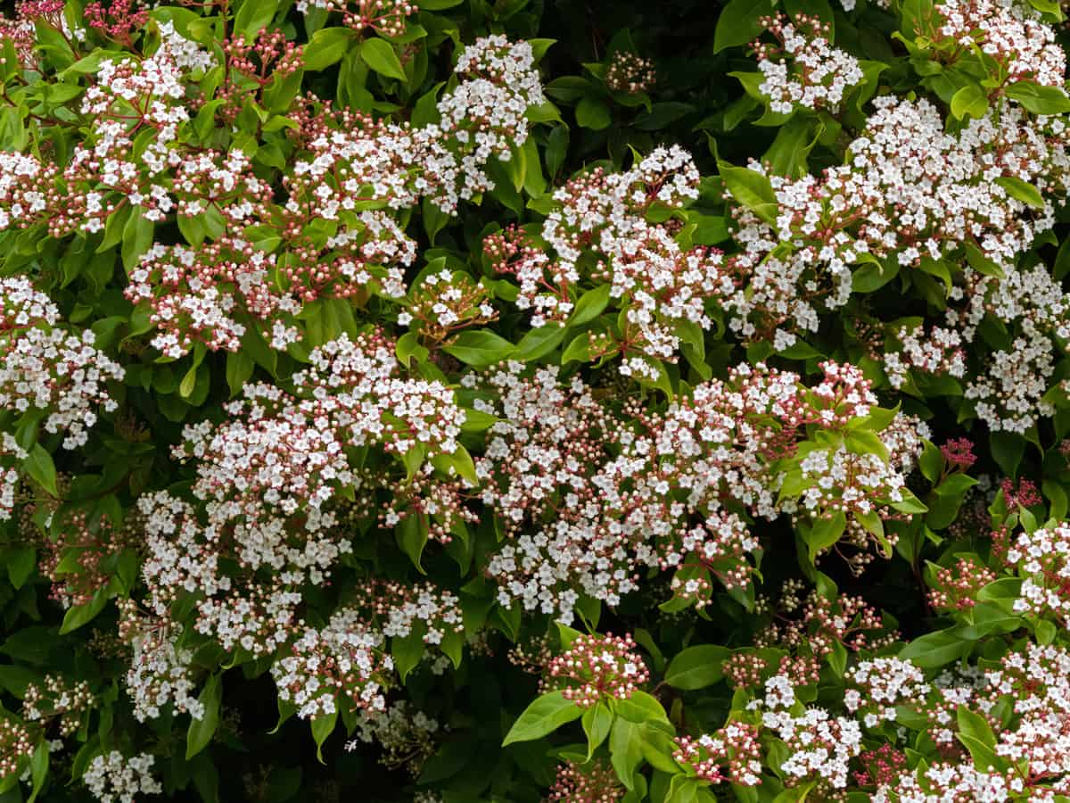 laurustinus provides an ornamental border hedge