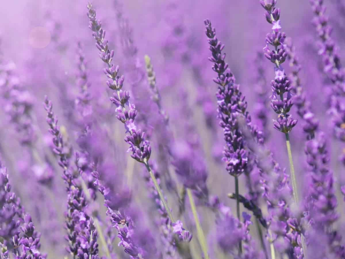 lavender works well to repel mosquitoes