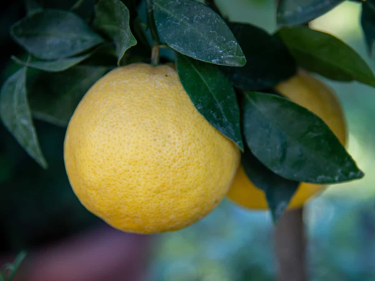 the Meyer lemon is a low maintenance fruit tree that grows well indoors