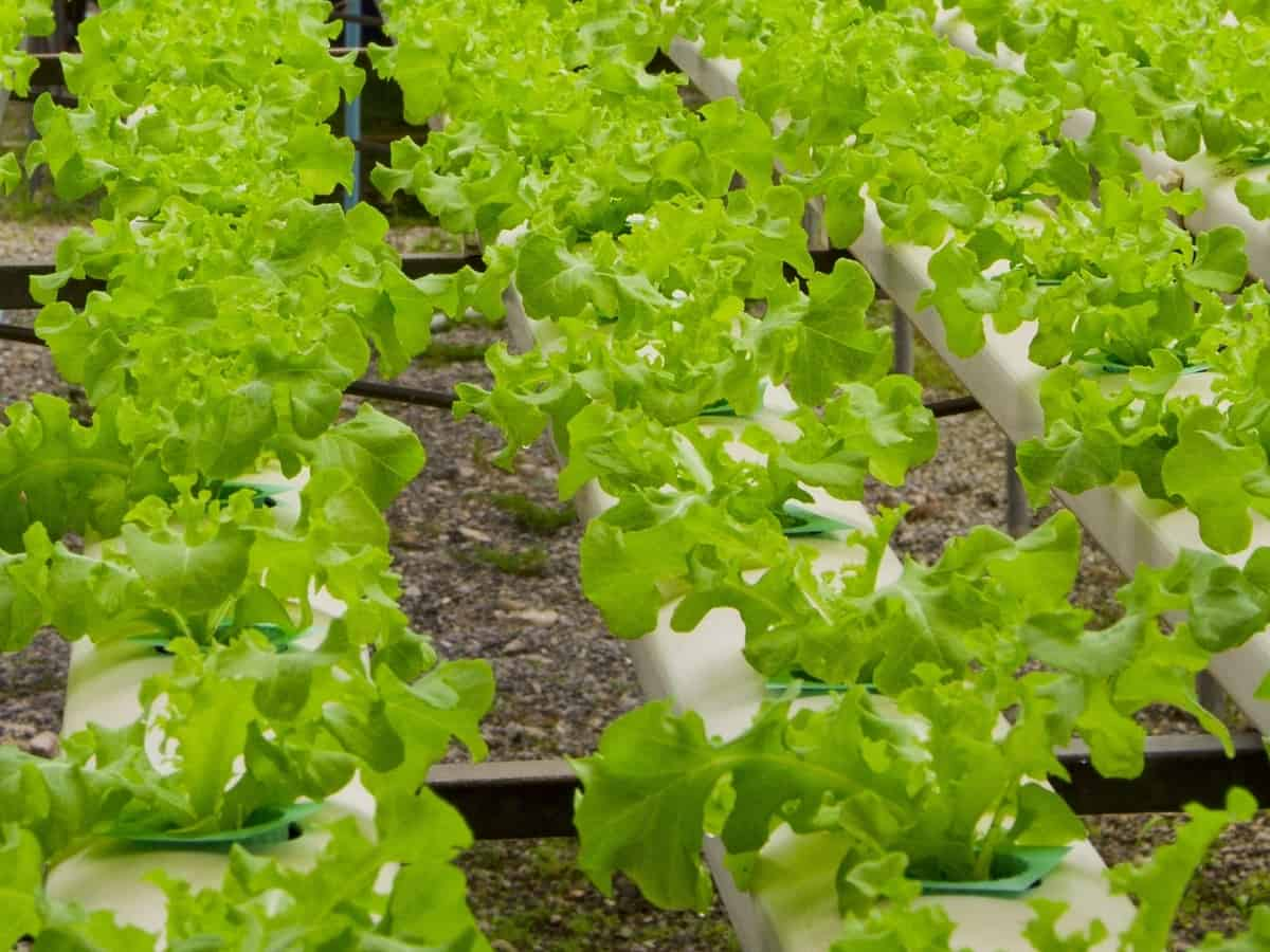 grow lettuce indoors in plastic pots for the best results
