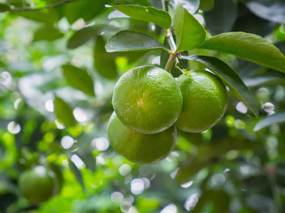 Kaffir lime is easy to grow indoors