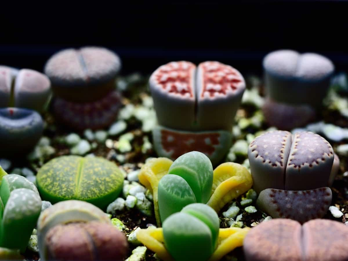 lithops, also called living stones, is drought resistant