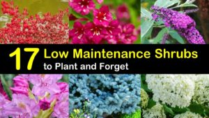 low maintenance shrubs titleimg1