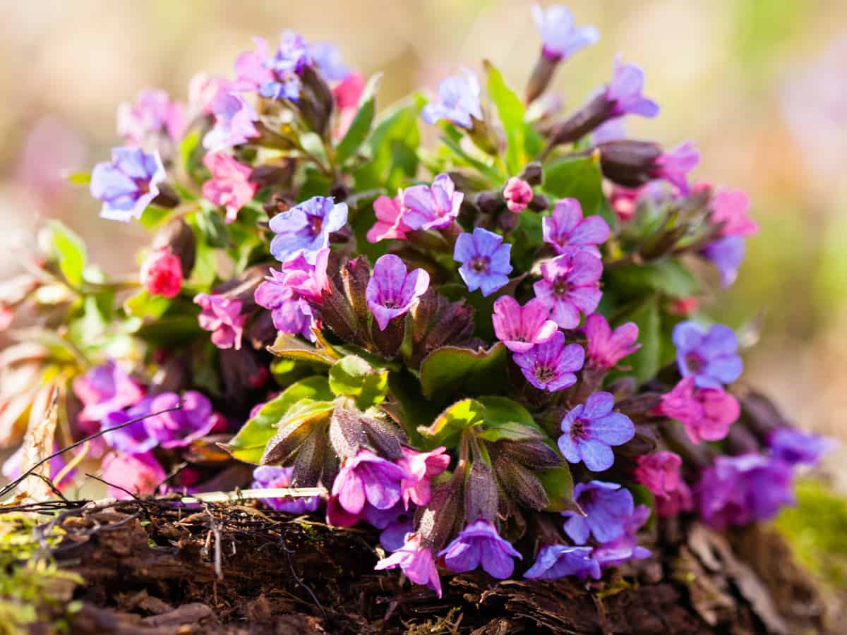 lungwort is a shade loving plant with beautiful blue purple flowers