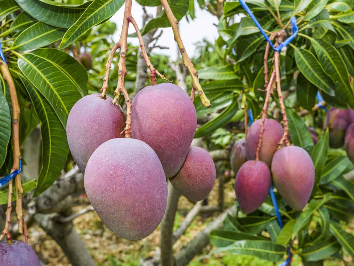 an indoor mango tree needs moist soil to do well