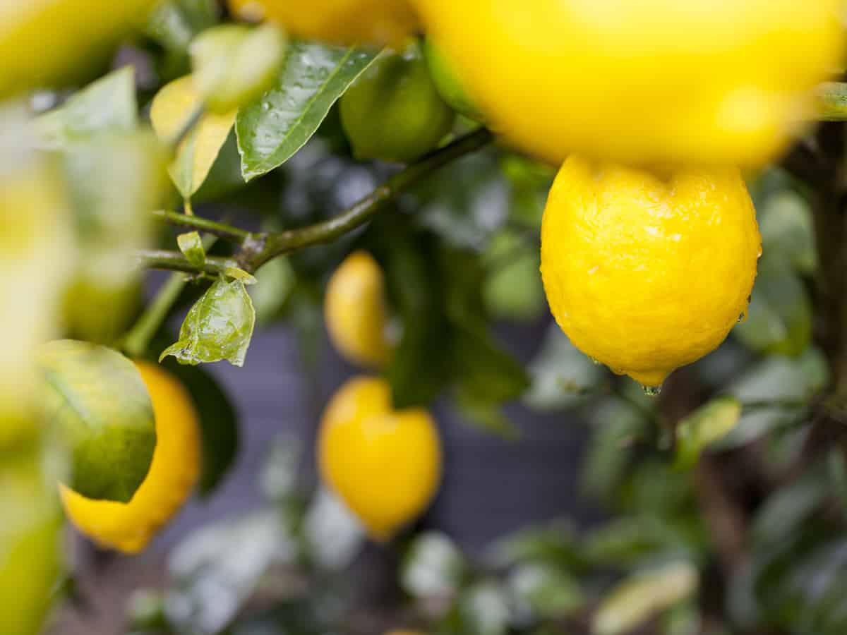 enjoy the aroma of a Meyer lemon tree in your garden