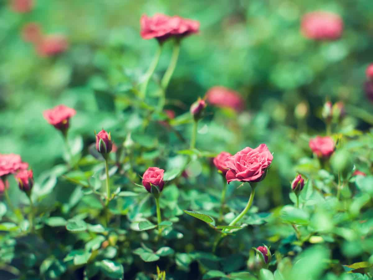 miniature rose bushes add whimsy to any garden area