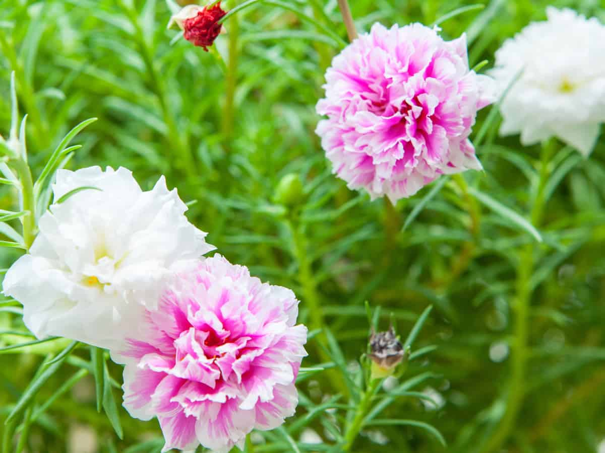 the moss rose has colorful flowers