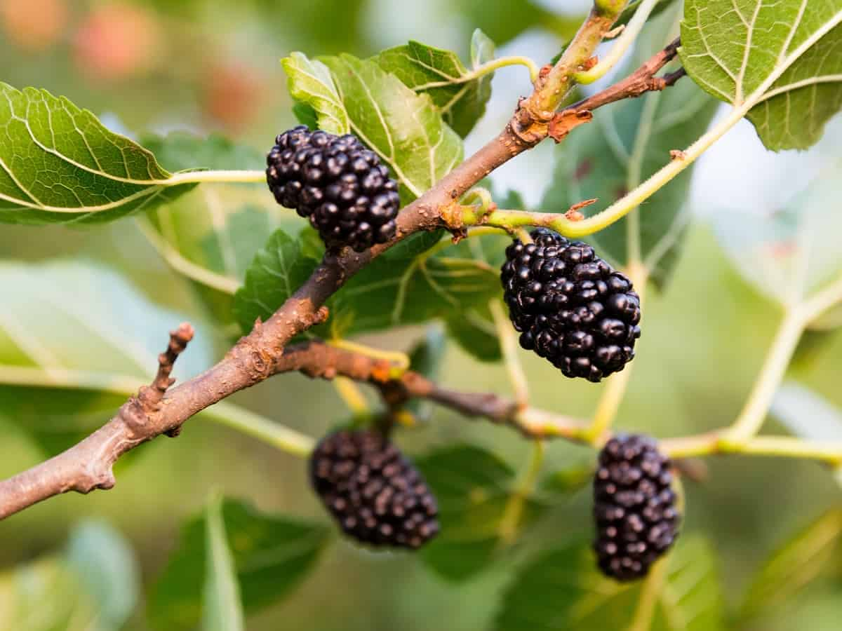 the mulberry tree has sweet/tart fruit that is prolific indoors