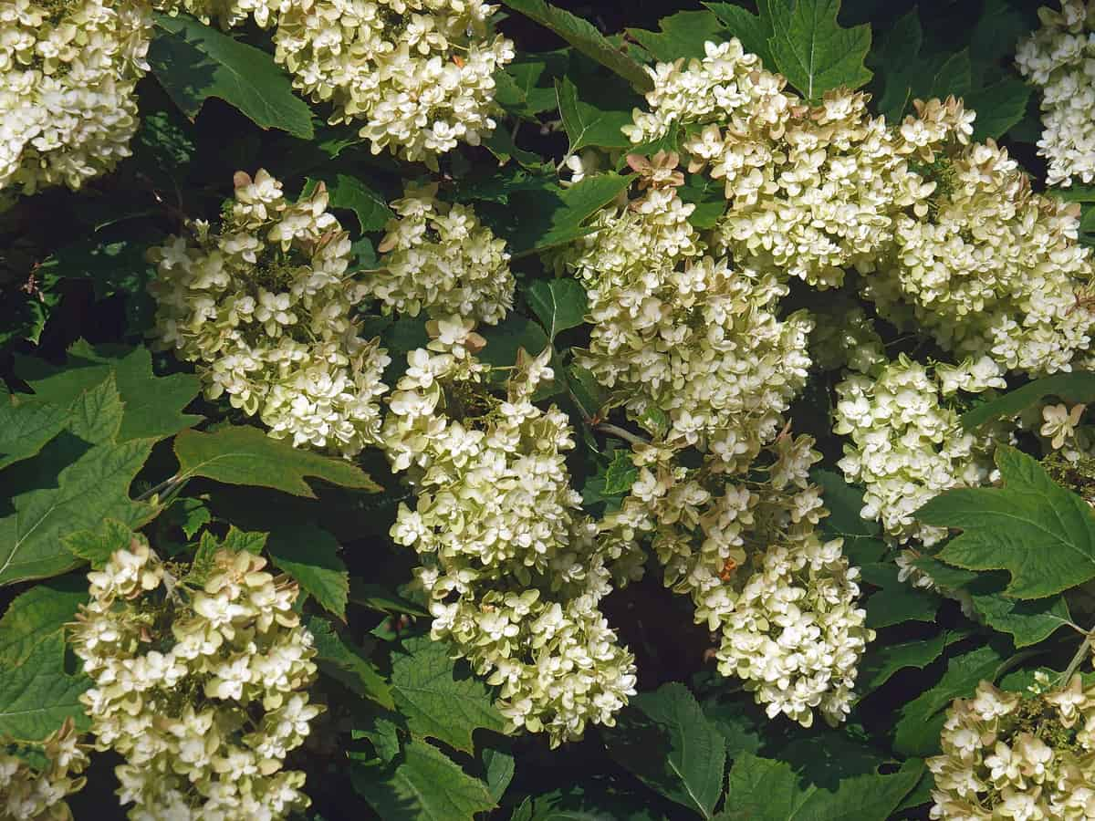 the oakleaf hydrangea provides color year round