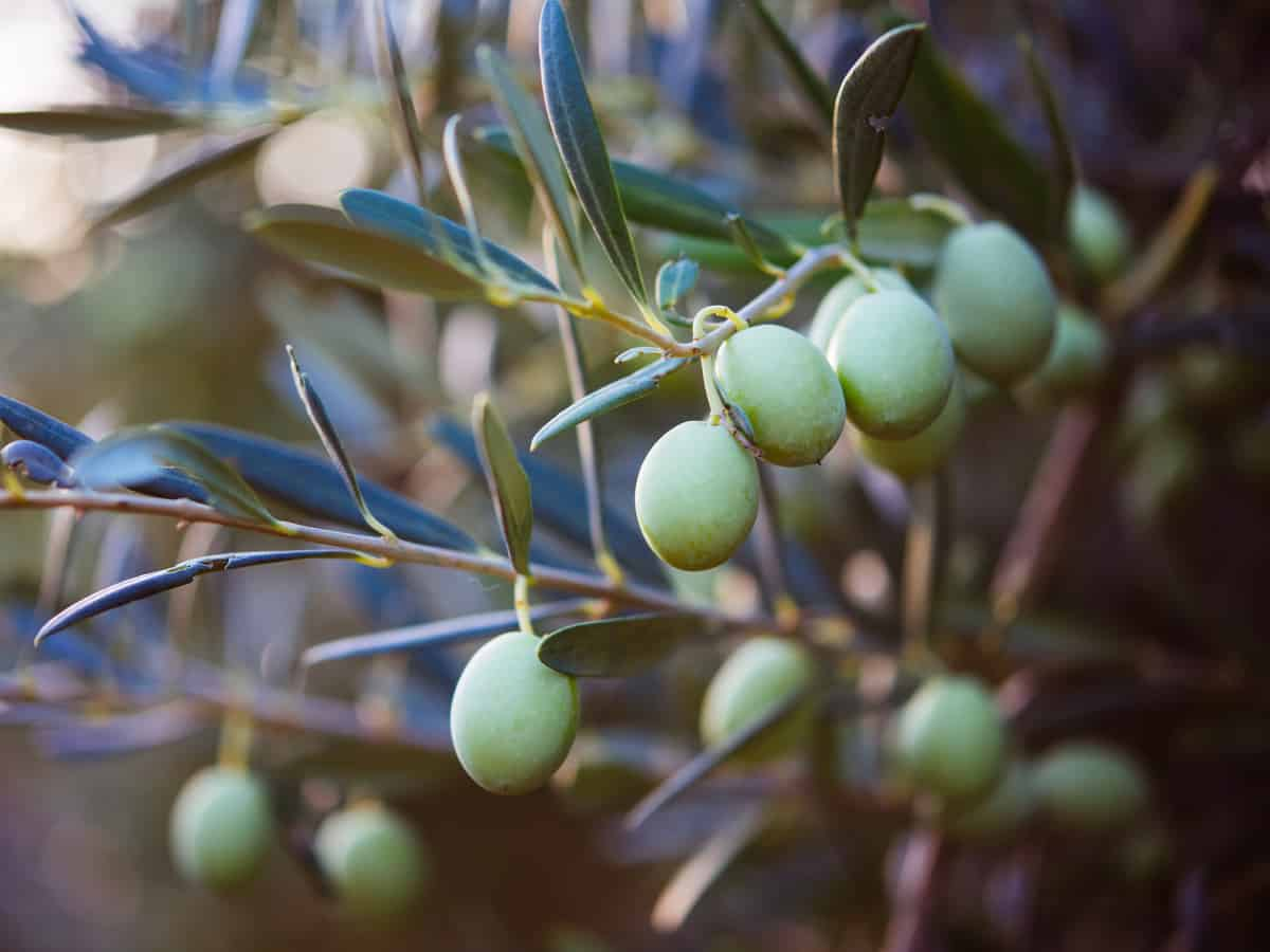 the olive is an indoor fruit tree that does need sun