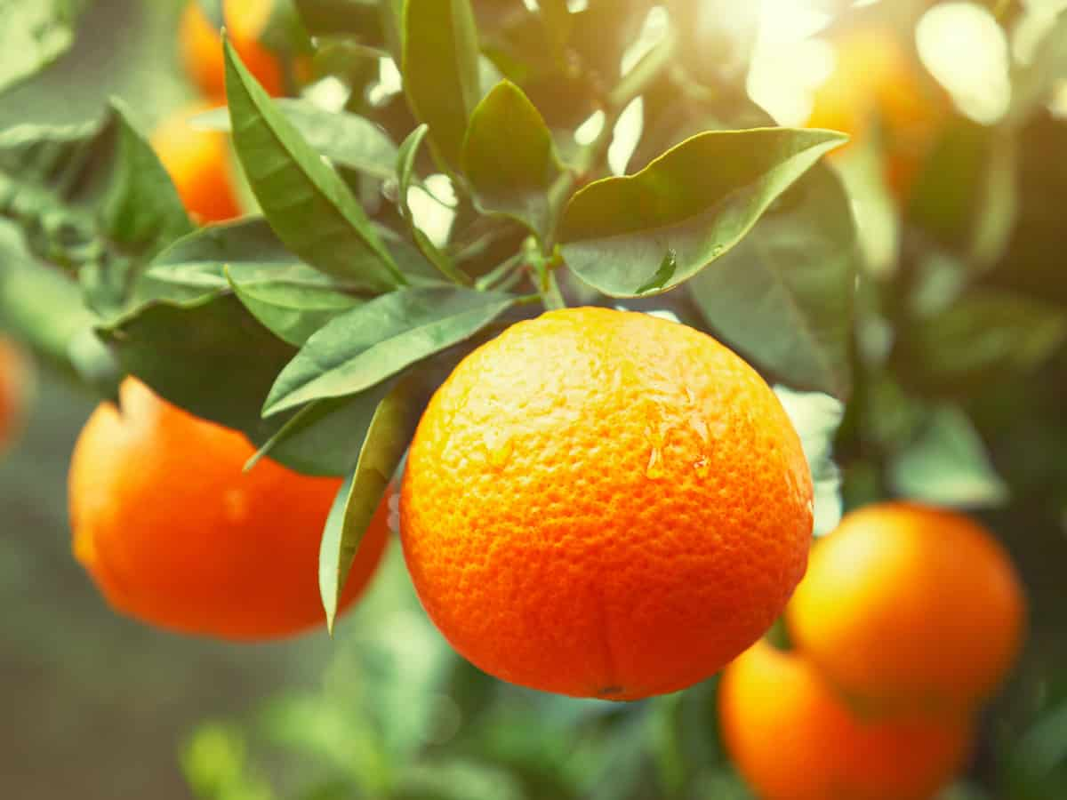 orange trees require extra care to do well inside