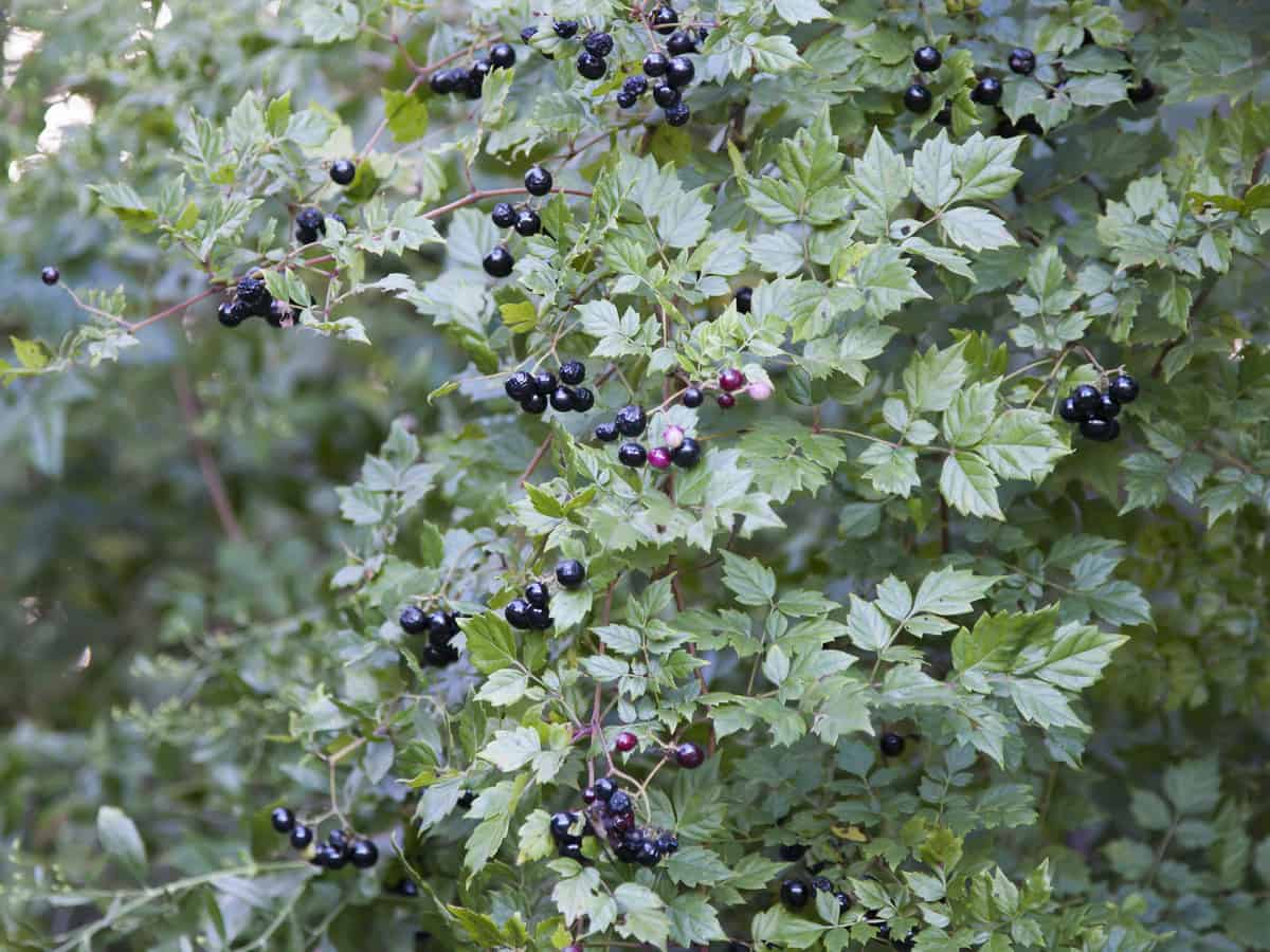 for a fast-growing hedge plant, grow the oval leaf privet