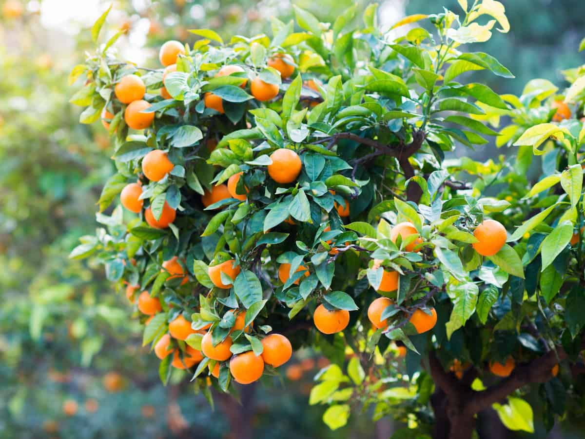 the Owari satsuma is a small tree that grows well in most climates
