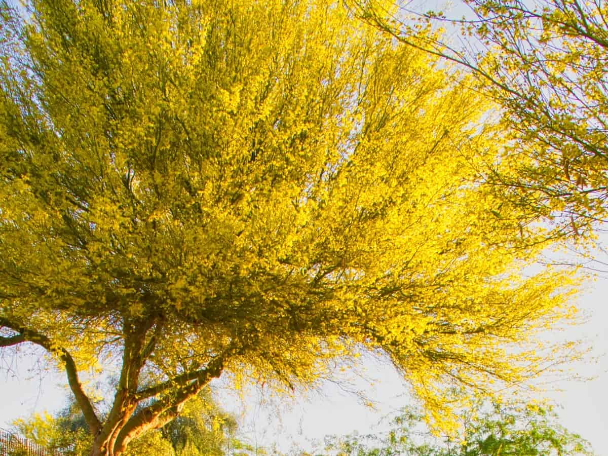 Palo verde trees are multi-trunked