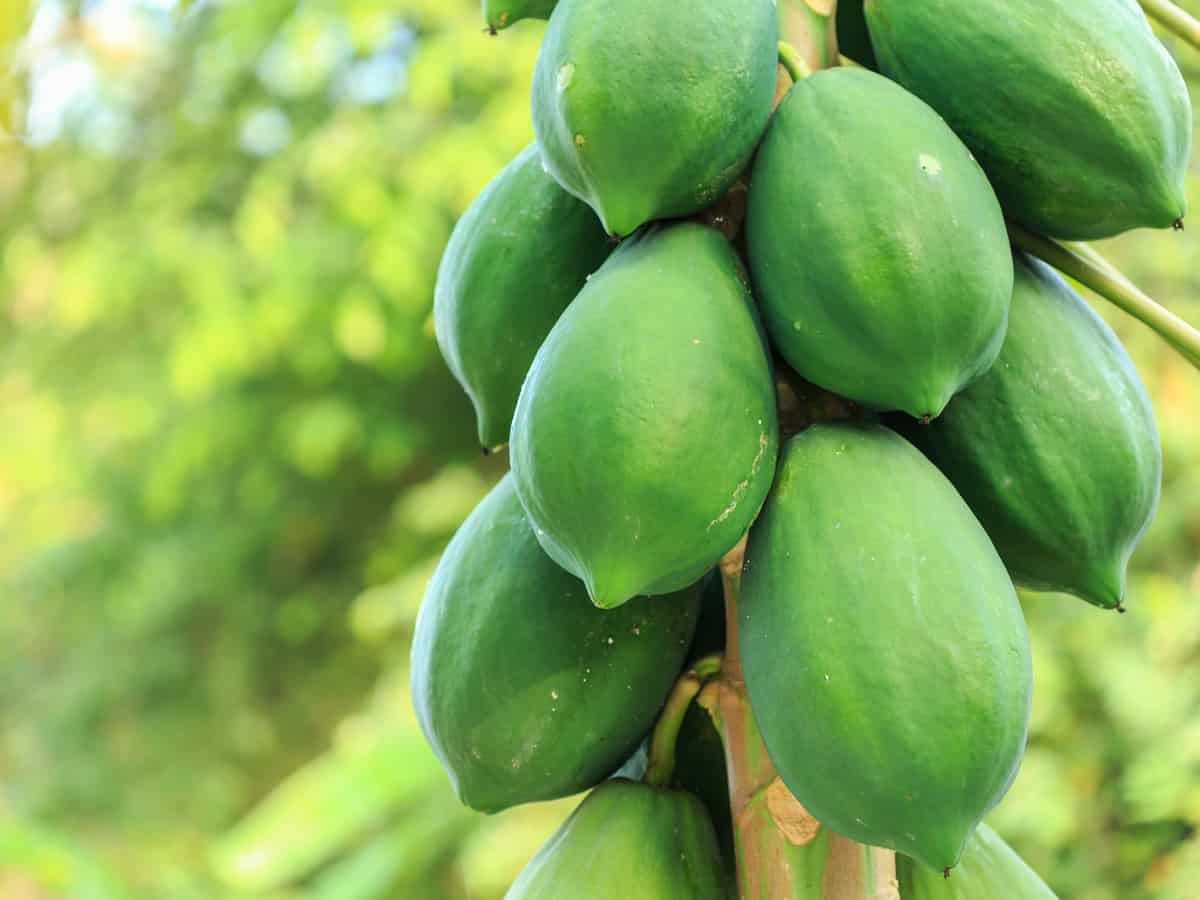 the papaya is a tropical plant that can grow indoors
