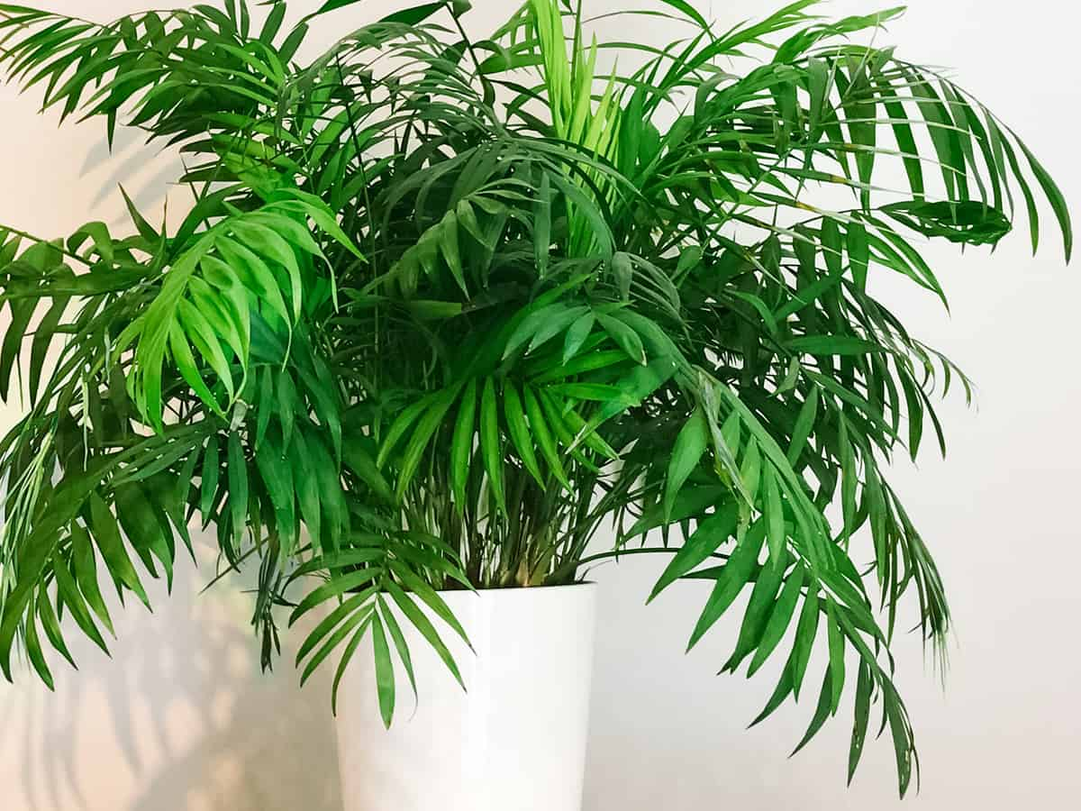 the parlor palm needs to be on the floor of the office to give it room to spread