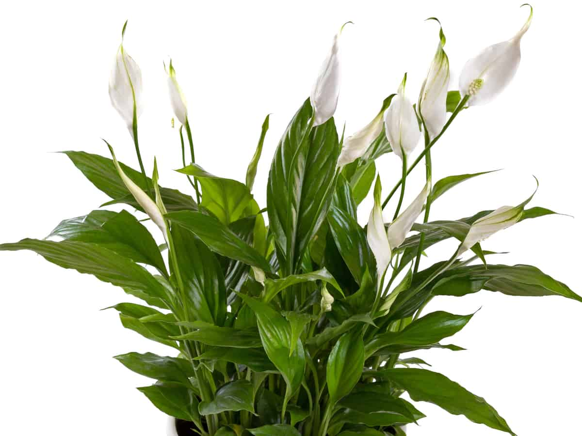 the peace lily is low maintenance