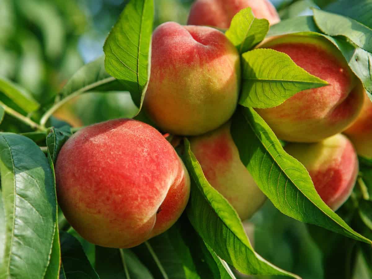 keep indoor peach trees pruned