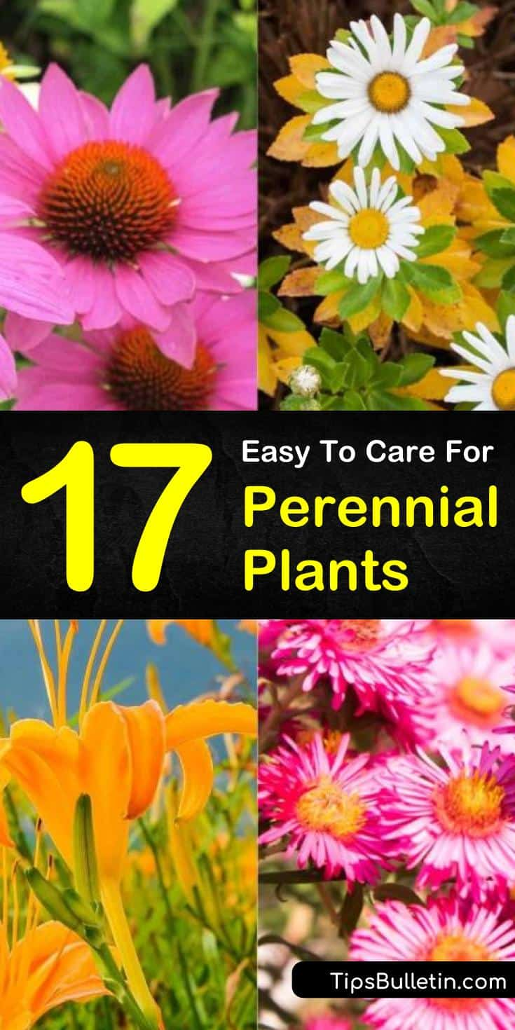 Perennial plants are a wonderful addition to any garden as they come back year after year. The exciting thing about perennial plants is they don't just come back; they come back more significant than before. #perennials #perennialplants