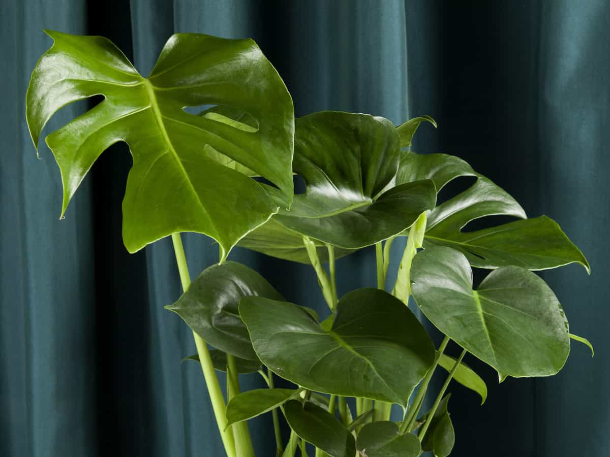 philodendrons need indirect light