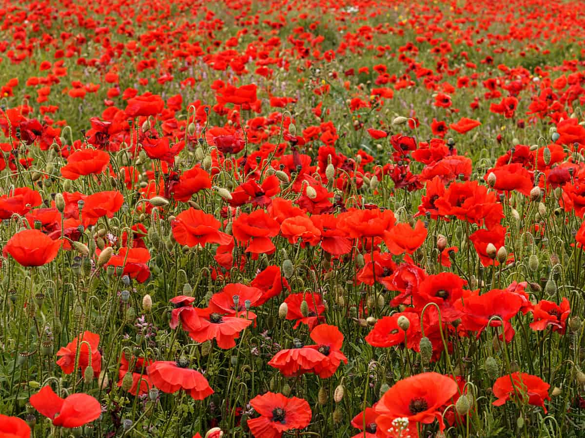 poppies are easy to care for