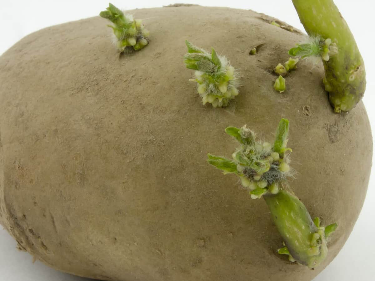 potatoes are easy to grow indoors