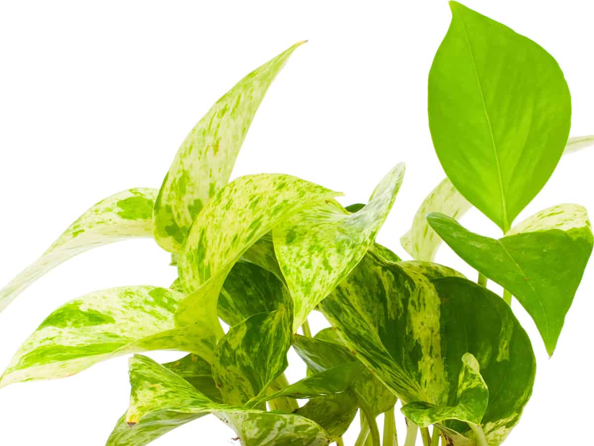 pothos is a highly popular office plant