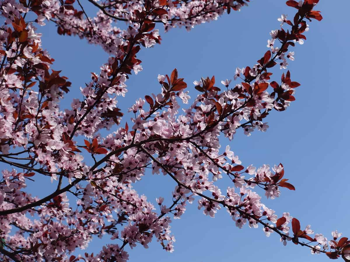 the purple plum needs more water than some other desert trees