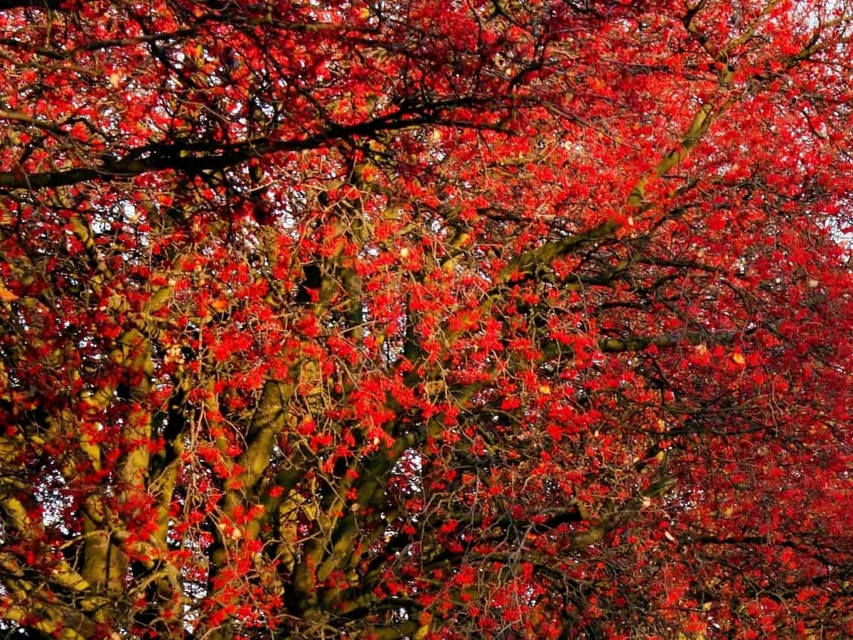 beautiful fall color of the red chokeberry