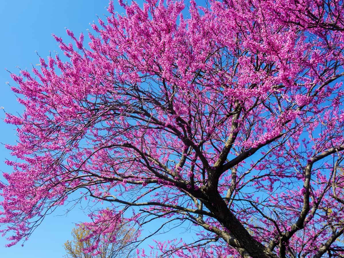 the redbud is also known as the Judas tree