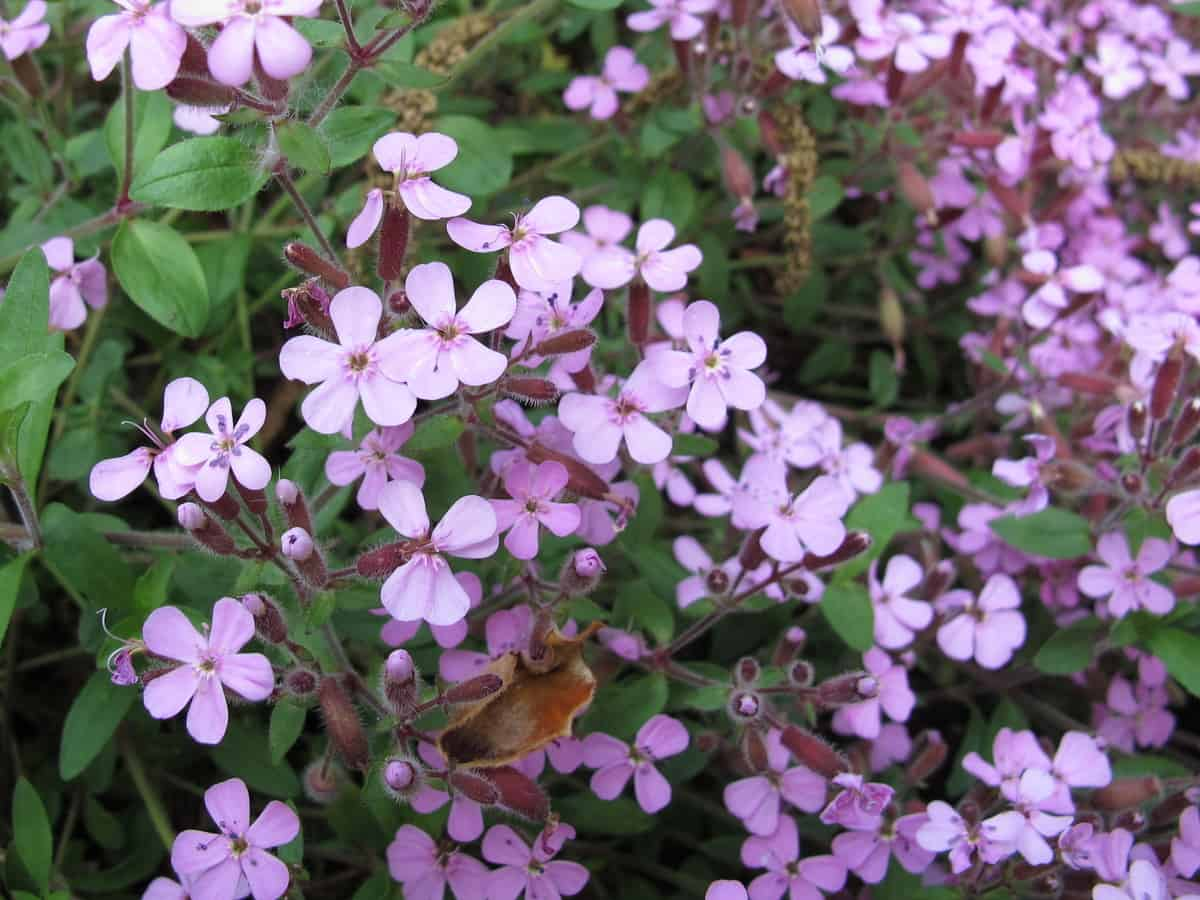 rock soapwort is cold-hardy and drought resistant