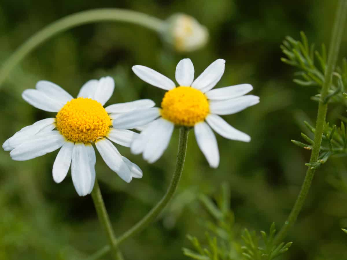 Roman chamomile is an excellent ground cover