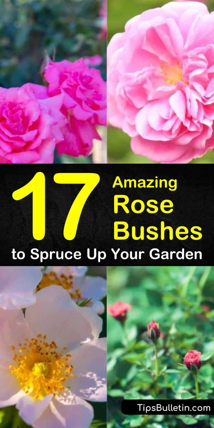 Discover all kinds of beautiful and elegant rose bushes to make your garden your very own hidden royal paradise. With so many colors and styles to choose from, you are sure to create a fantastic garden filled with whimsy. #roses #rosebushes #bushes