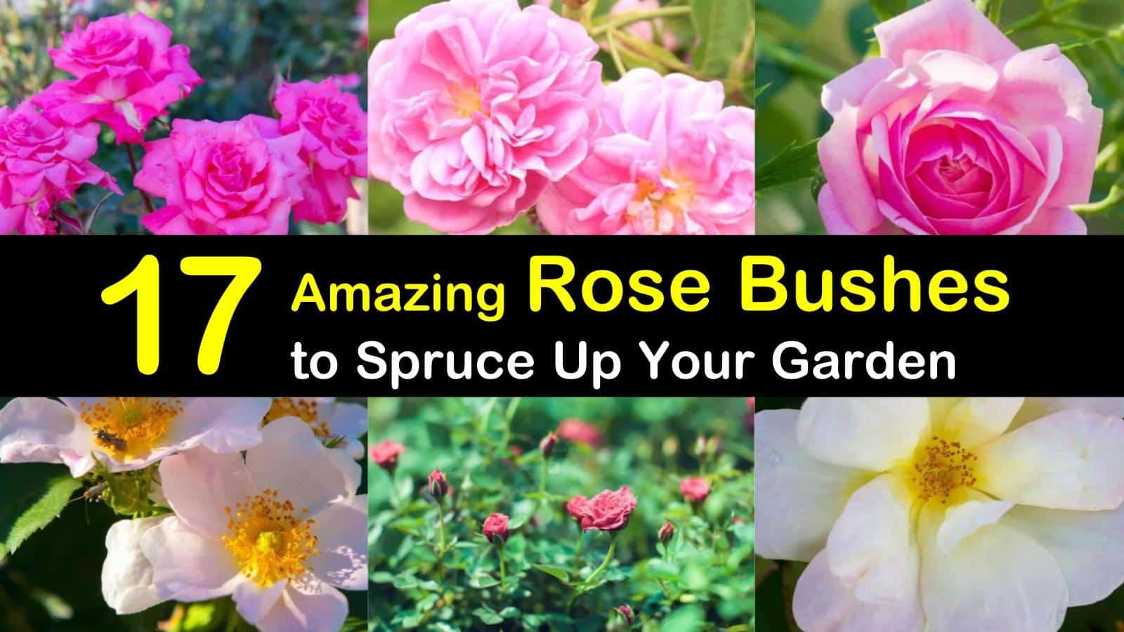 rose bushes titleimg1