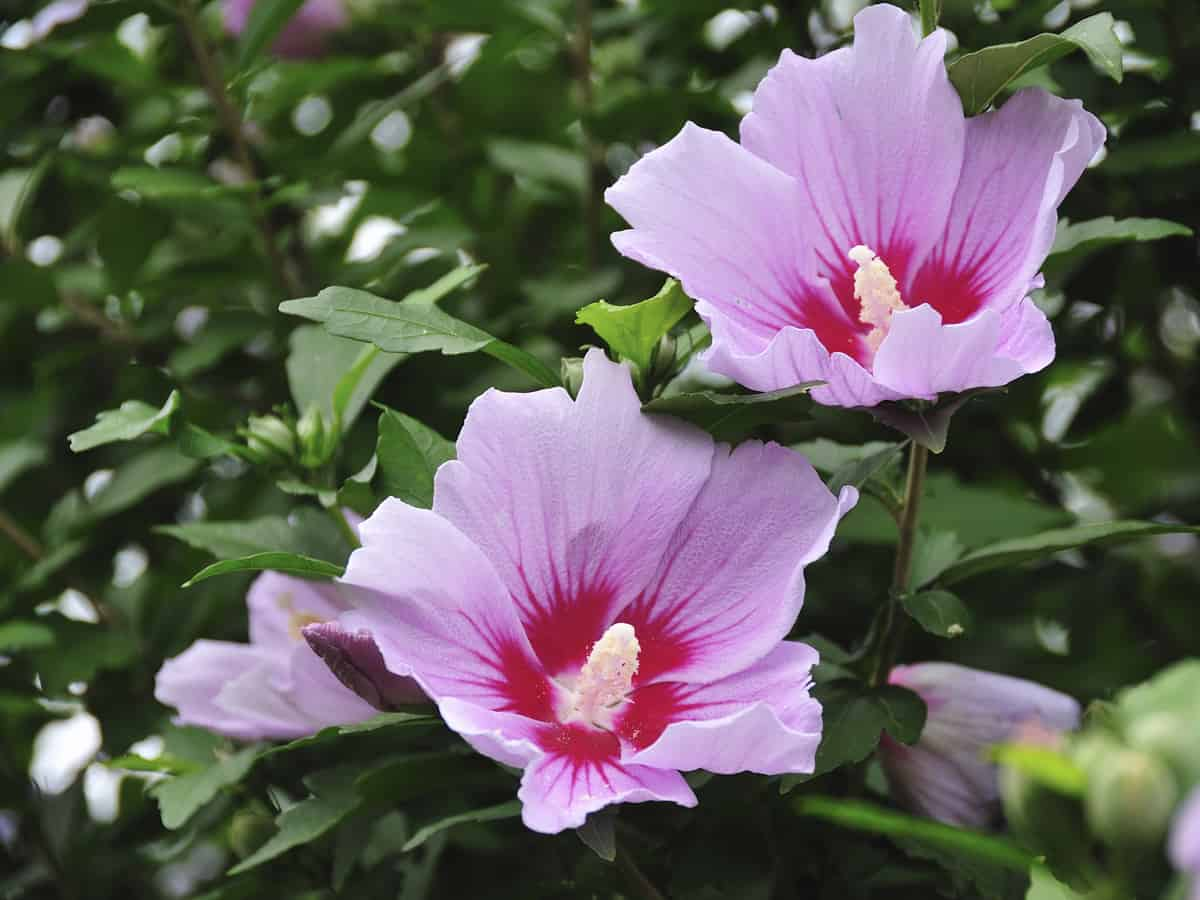 the rose of Sharon makes a flowering privacy hedge