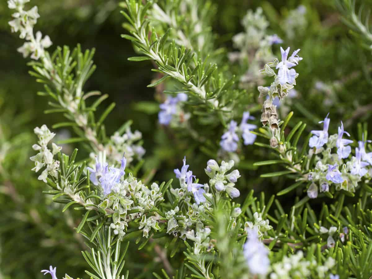 rosemary is one of the most-used herbs