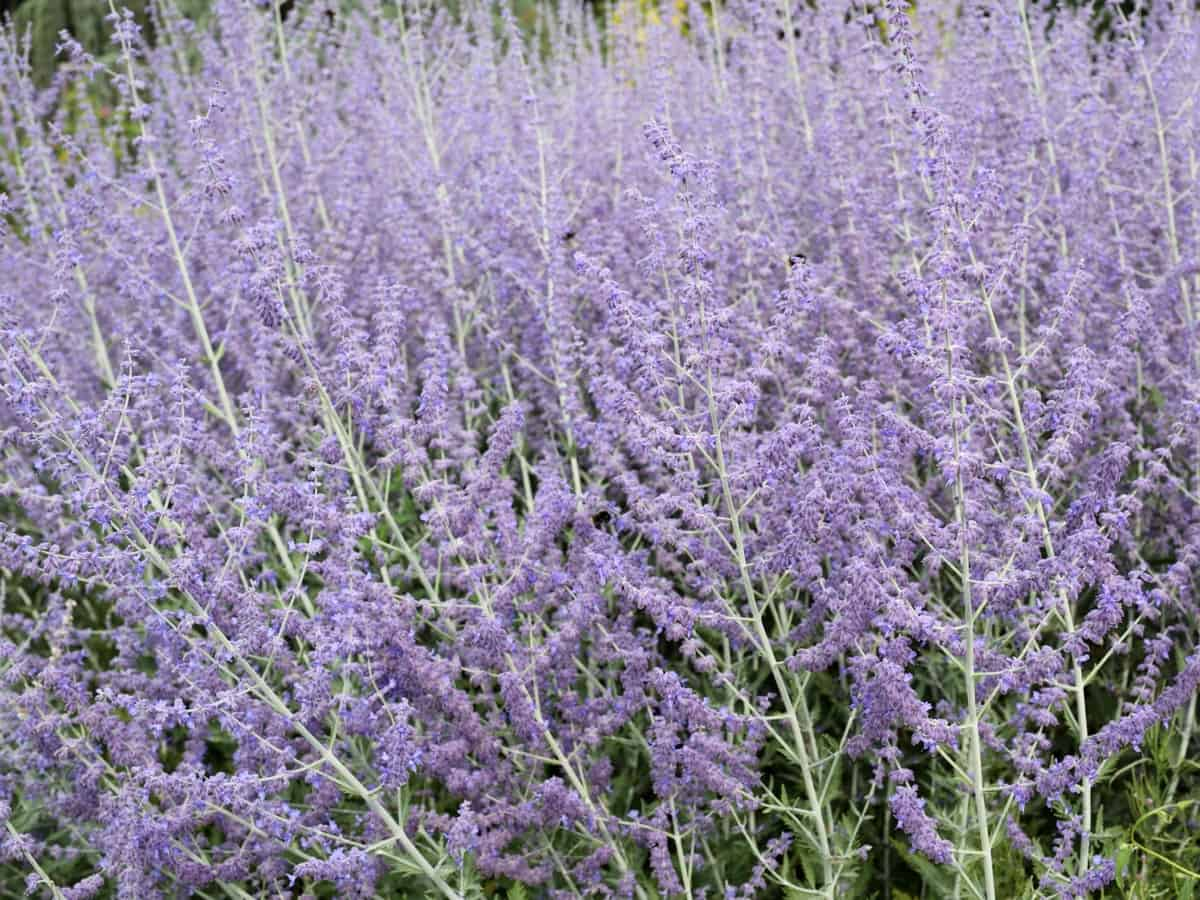 Russian sage has prolific lavender to purple flowers