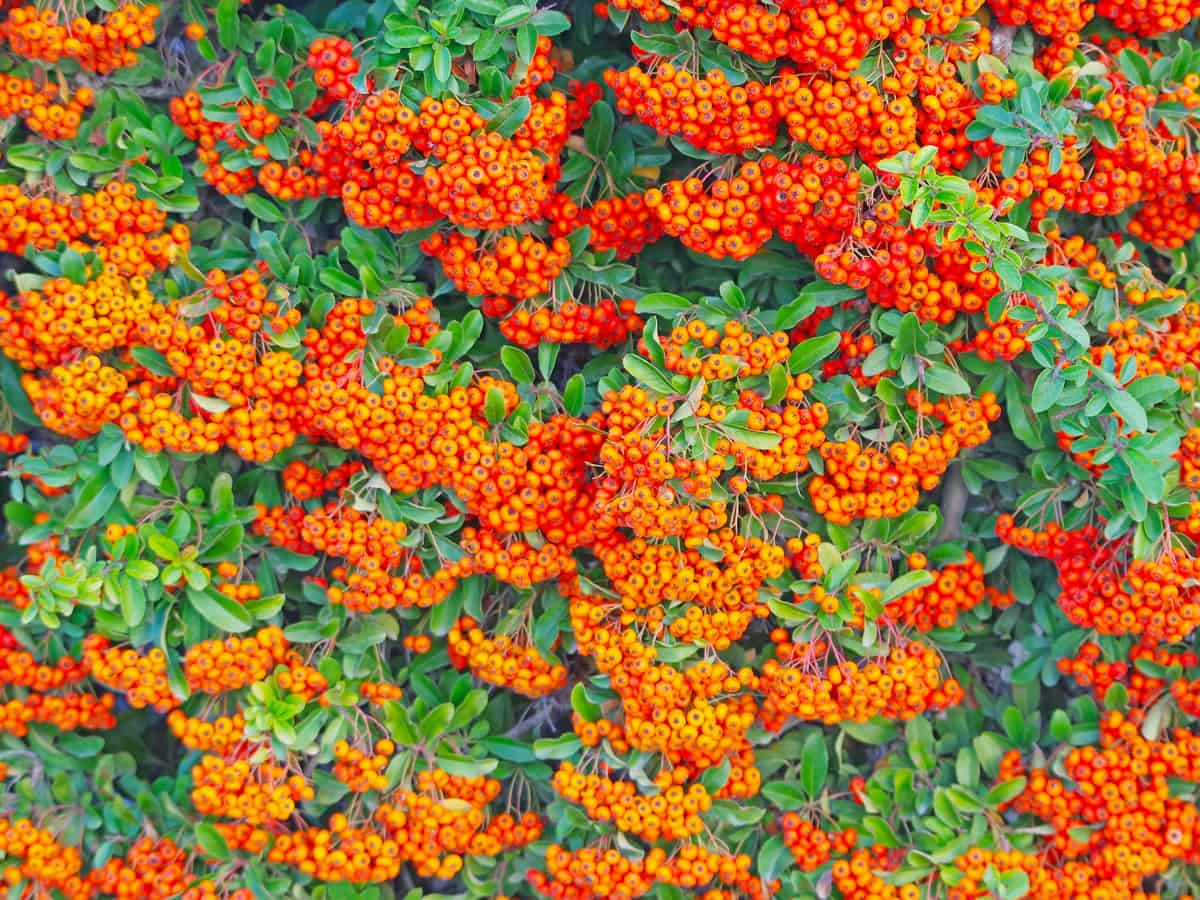 the scarlet firethorn has both beautiful berries and flowers