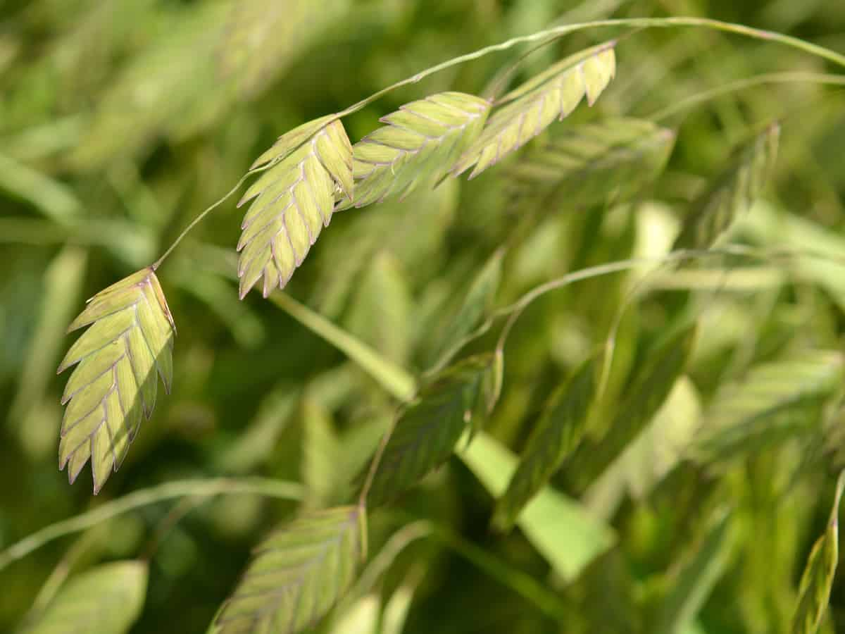 sea oats have feathery fronds