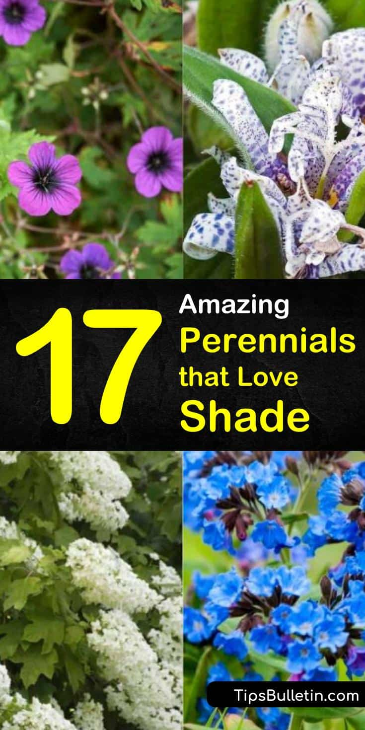 Discover the best shade perennials that you can plant in your garden. Many of these hardy plants sport flowers that bloom all summer, making for a beautiful addition to your landscaping. Find out which works best for you! #shadeperennials #flowers #shade #perennials