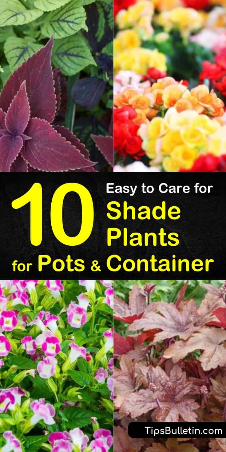 Build a beautiful patio or planters without the sun! Our guide to shade plants for pots gives you spring garden ideas for perennials and other plants in your front yards, window boxes, and porches. Don't let low lights stop your garden! #gardening #shadeplants #pots #plants