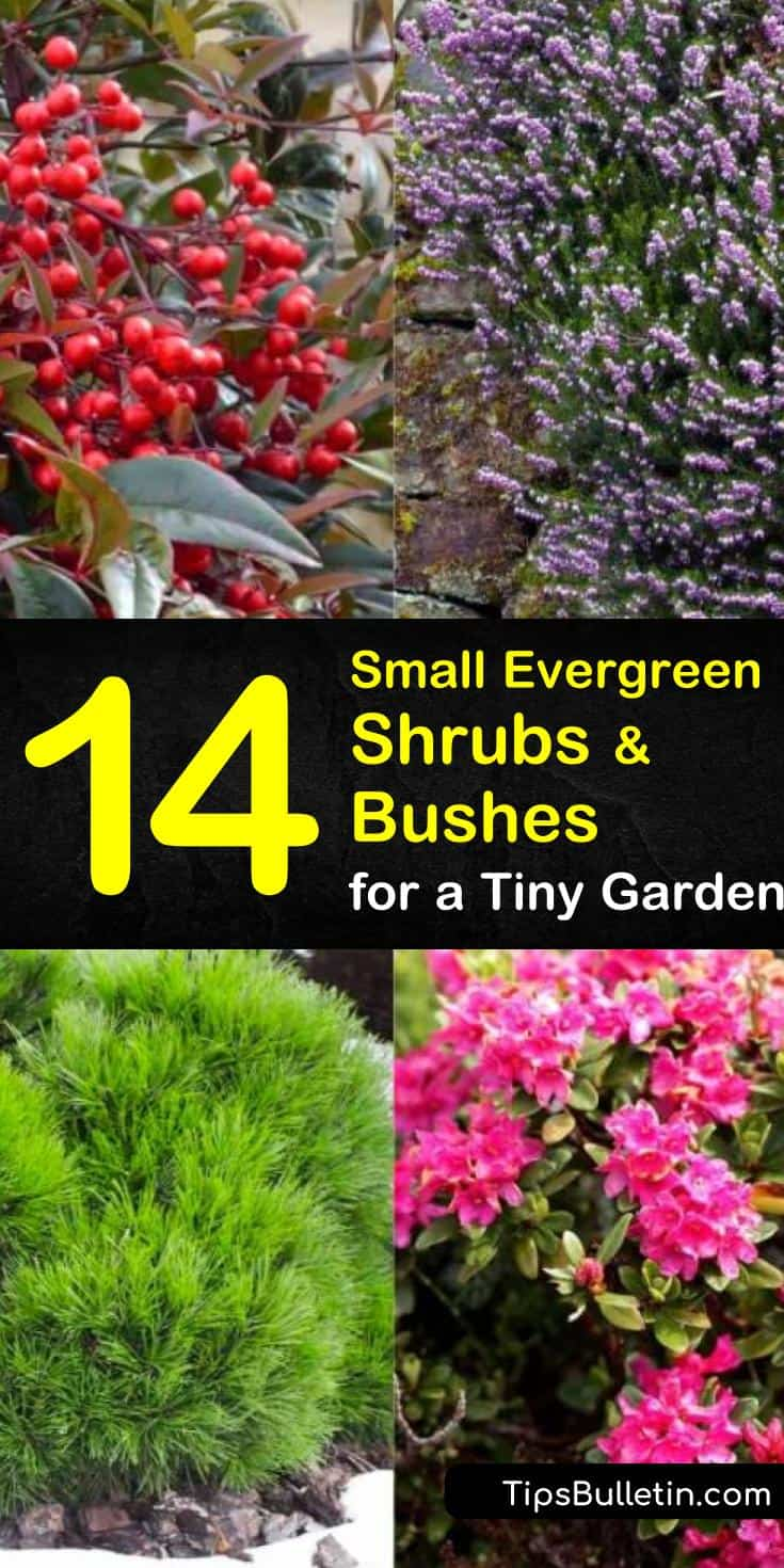 Discover the best small evergreen shrubs to plant in your garden and front yard. Whether you want to put in hedges, need shrubs for foundation planting, or simply need landscaping ideas, this list will help! #evergreenshrubs #shrubs #bush #gardening