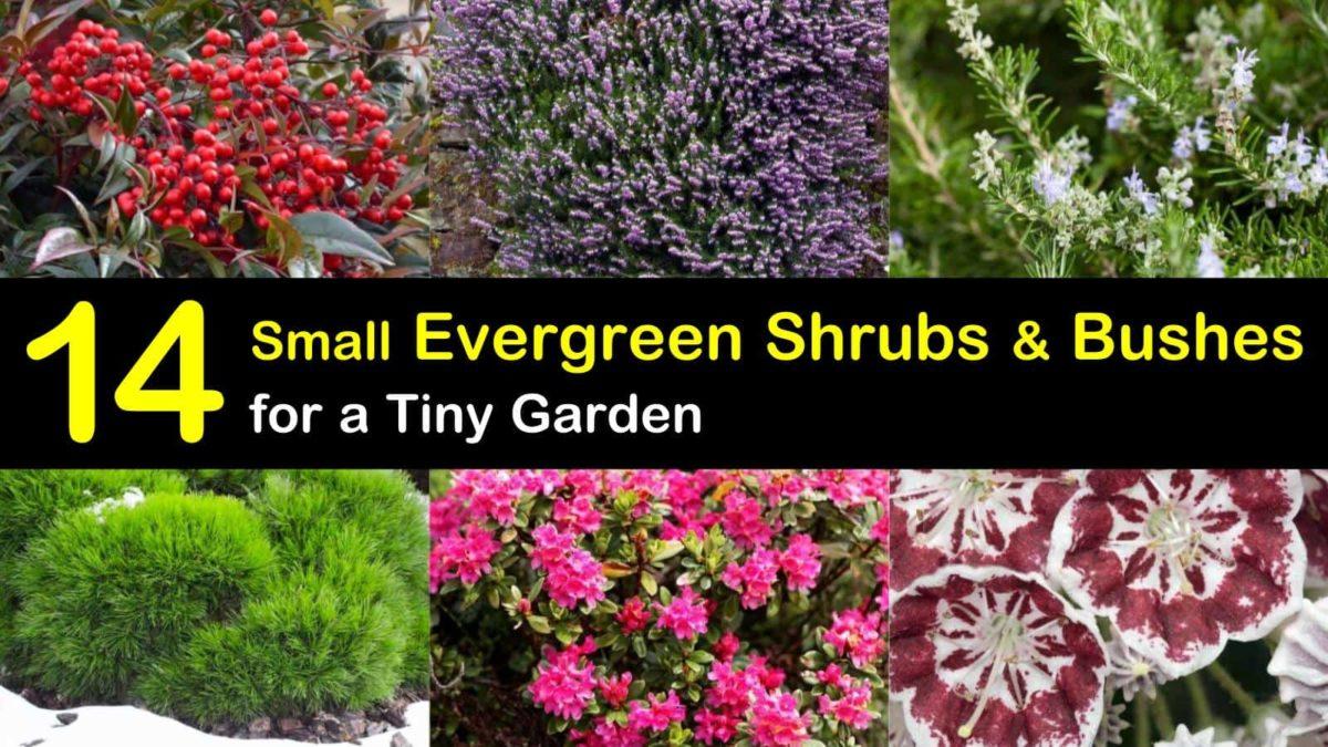 14 Small Evergreen Shrubs Bushes For A Tiny Garden