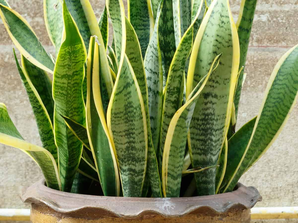 snake plant is also known as mother-in-law's tongue