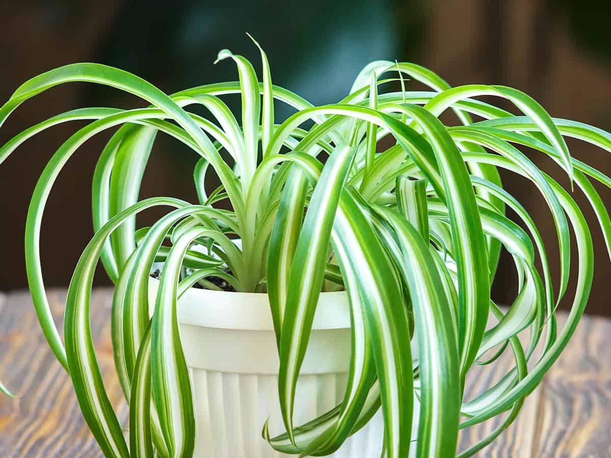 spider plants make great hanging baskets